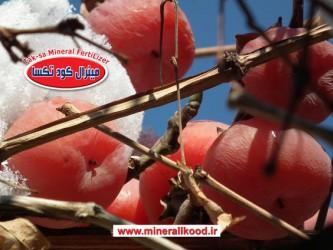 ماندگاری وعدم ریزش میوه از درخت